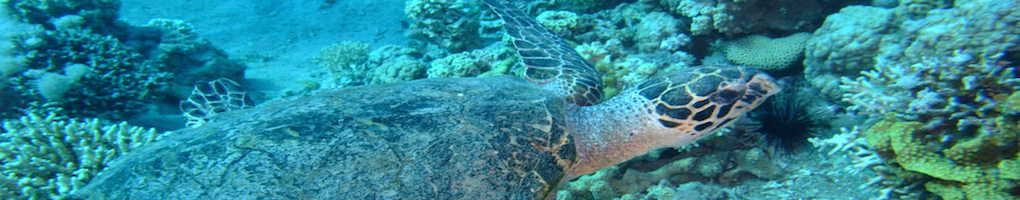 Aqaba turtle diving, dive aqaba